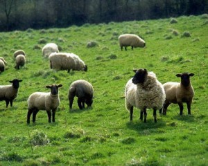 sheep in green pasture