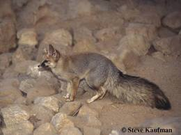 Vulpes thaleb, or Syrian fox, the only species of this animal indigenous to Palestine. It burrows, is silent and solitary in its habits, is destructive to vineyards, being a plunderer of ripe grapes. The Vulpes Niloticus, or Egyptian dog-fox, and the Vulpes vulgaris, or common fox, are also found in Palestine.